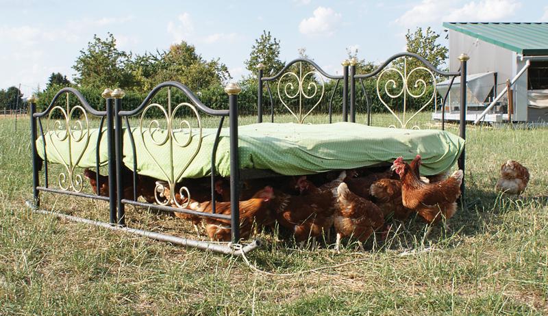 shade chickens heat chicken hen hens