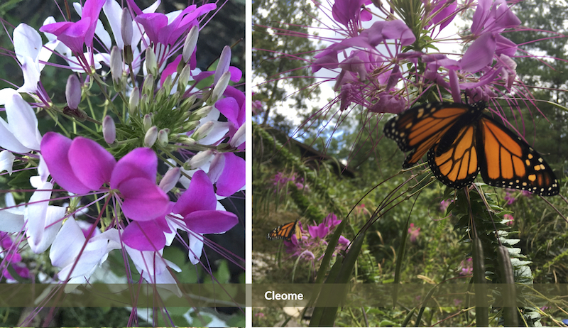 Cleome old-fashioned flowers