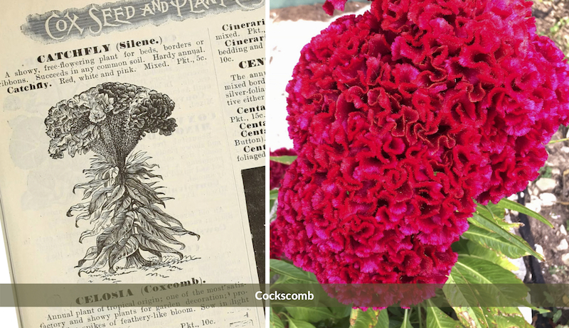 Cockscomb old-fashioned flowers