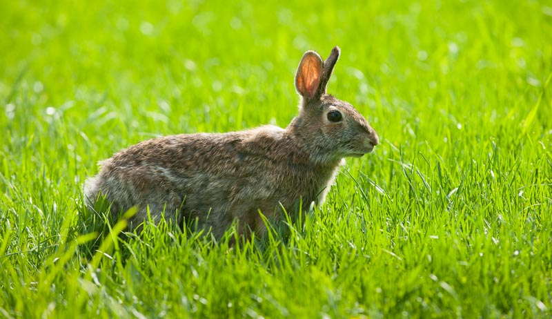 rabbits rabbit in the garden