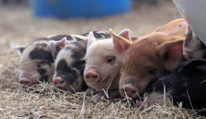 Halbert Farm Kunekune pigs