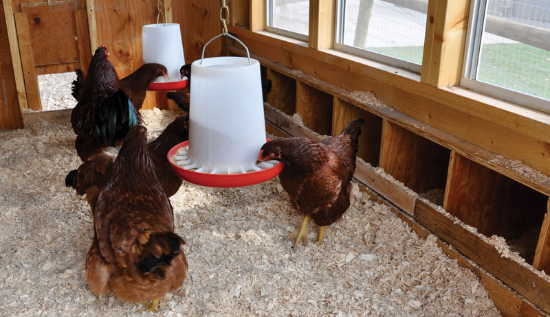 chickens chicken feeder feeders waterer waterers poultry