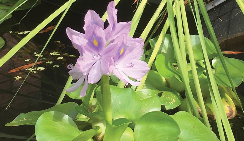 hyacinth water garden