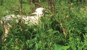 permaculture pasture good grazing