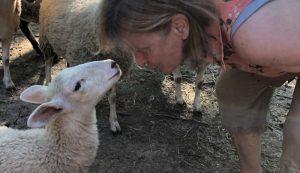 sheep sense