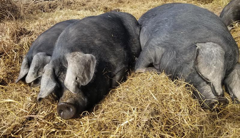 raising livestock large black pig pigs breed