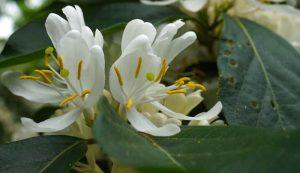 invasive honeysuckle