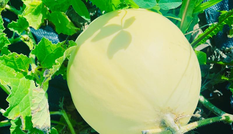 fall crop harvest melon