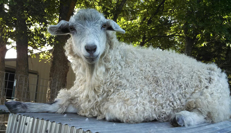fiber goats pygora