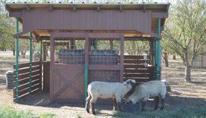 feeder lambs sheep