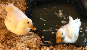 Silkie bantam ducks
