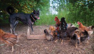 chickens chicken poultry predators predators
