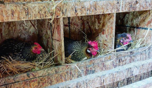 the combstead chickens