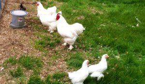 Cochin chickens chicken