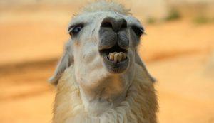 animal livestock llama dental teeth