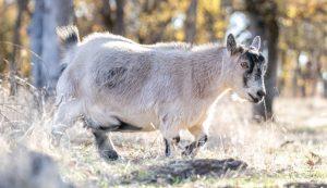 small breeds livestock farm farms