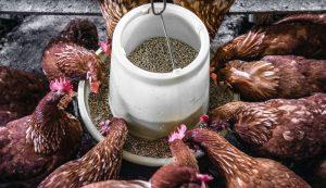 chicken feed nutrients