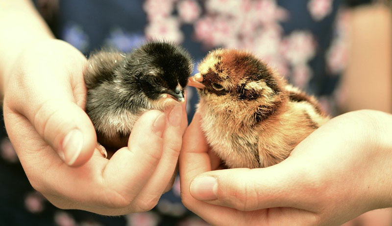baby chicks chick questions chickens