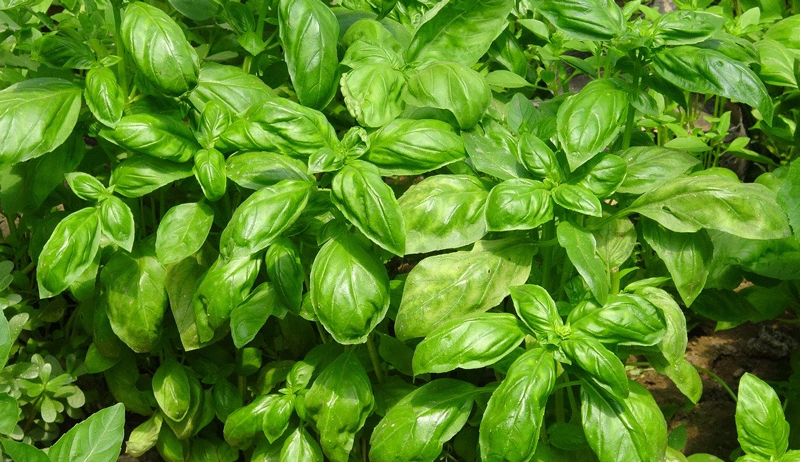 grow basil garden herb