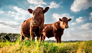 cattle pasture cows