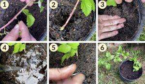 black raspberry raspberries propagate propagation