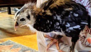 Black Australorp Australorps chick