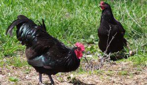 Black Australorp Australorps hen rooster