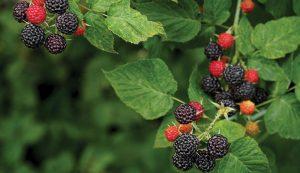 black raspberries raspberry nutritious crop