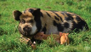 Idaho pasture pig pigs IPP