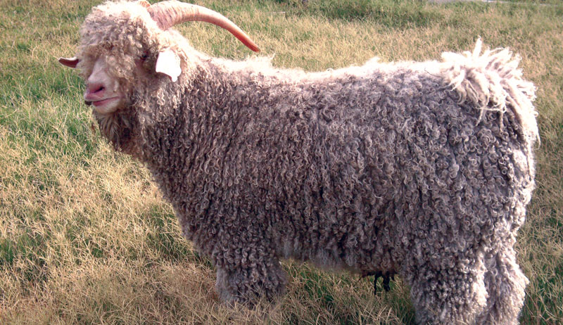 angora goats angoras goat