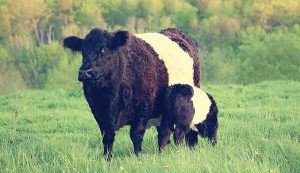 Belted Galloway cattle breed cow calf