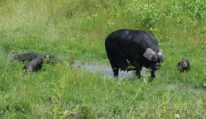 large black hogs hog pig pigs lbh lbhs