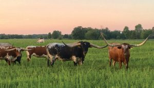 Texas longhorn cattle cows breed