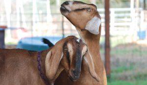Nubian goats goat breed
