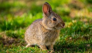 RHDV2 rabbit ebola wild domestic rabbits