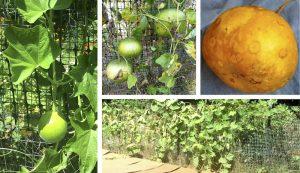 bushel basket gourds gourd