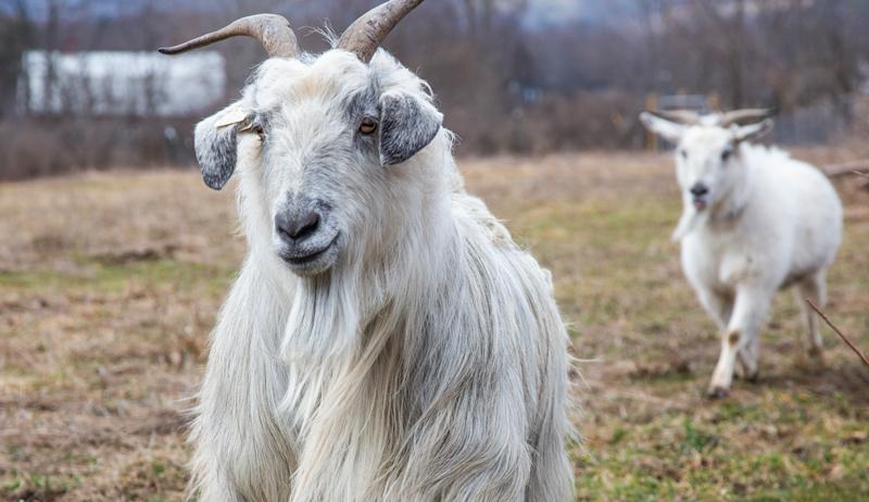fiber goats cashmere