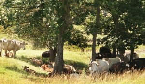 cattle heat shade cool