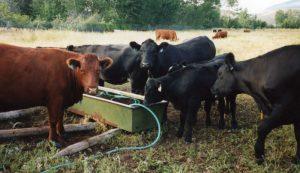 cattle heat summer