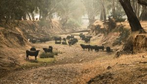 livestock during drought