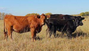 freezer beef cattle pasture cows