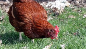 rhode island red american chickens