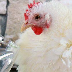 Do Chickens Really Need Apple Cider Vinegar?