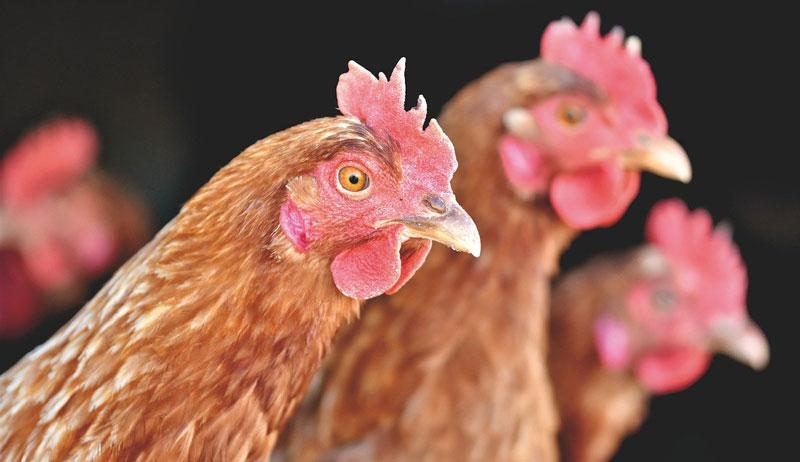 backyard chicken flock misconceptions myths
