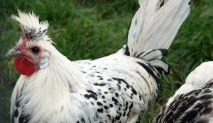 chickens allergic allergies