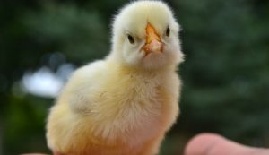 chicken chick problems issues health