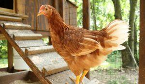 chicken coop pullets