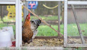 choose best chicken coop model your flock