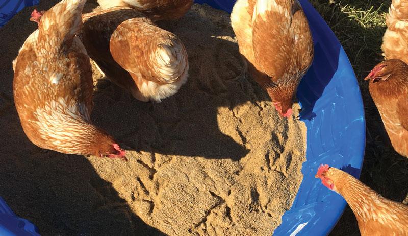 chicken environmental enrichments dust bath