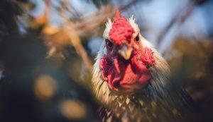 chicken chickens emotion emotions